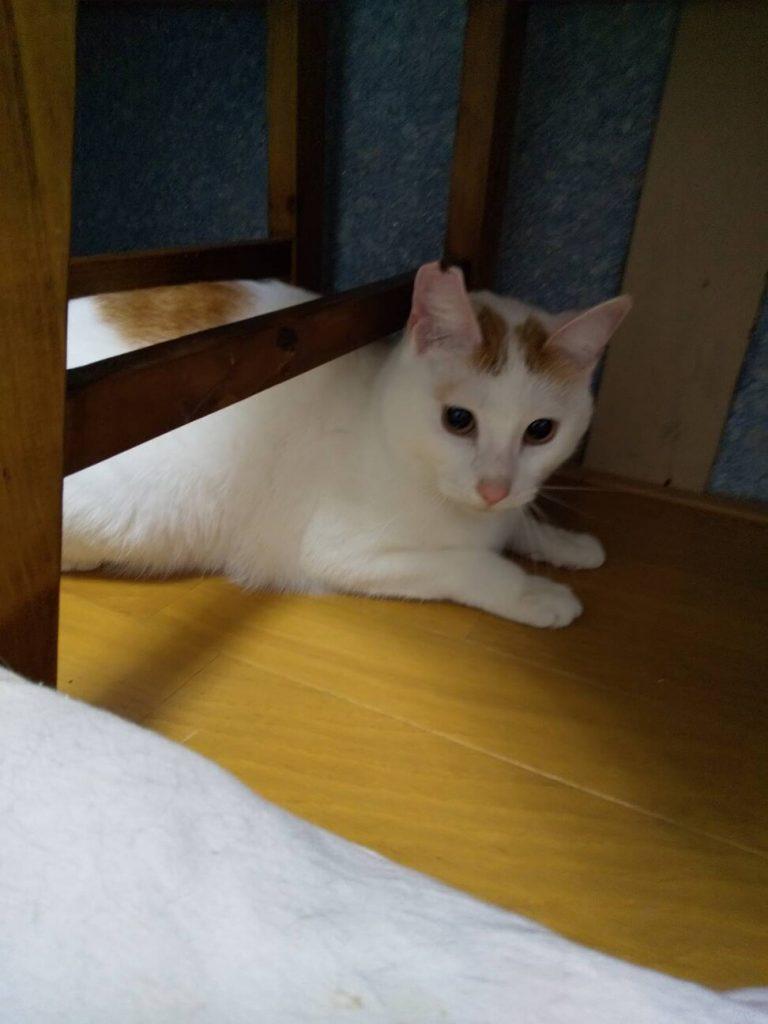 初心者でも大丈夫。穏やかな茶白大人ネコ