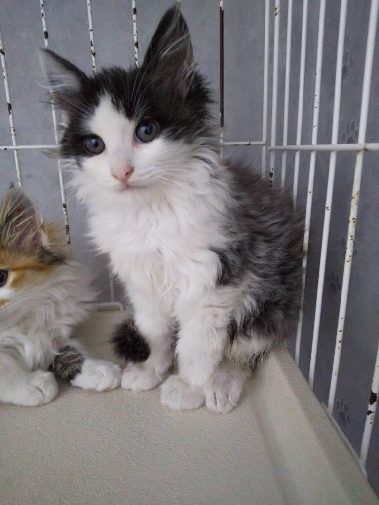 長毛グレー白子猫